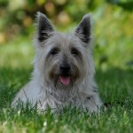 Sir Blu (Cairn Terrier)