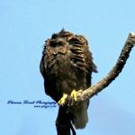 headless-bald-eagles-107a